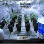 15- 22-9-2013 Y las elegidas son estas 4 variedades de marihuana