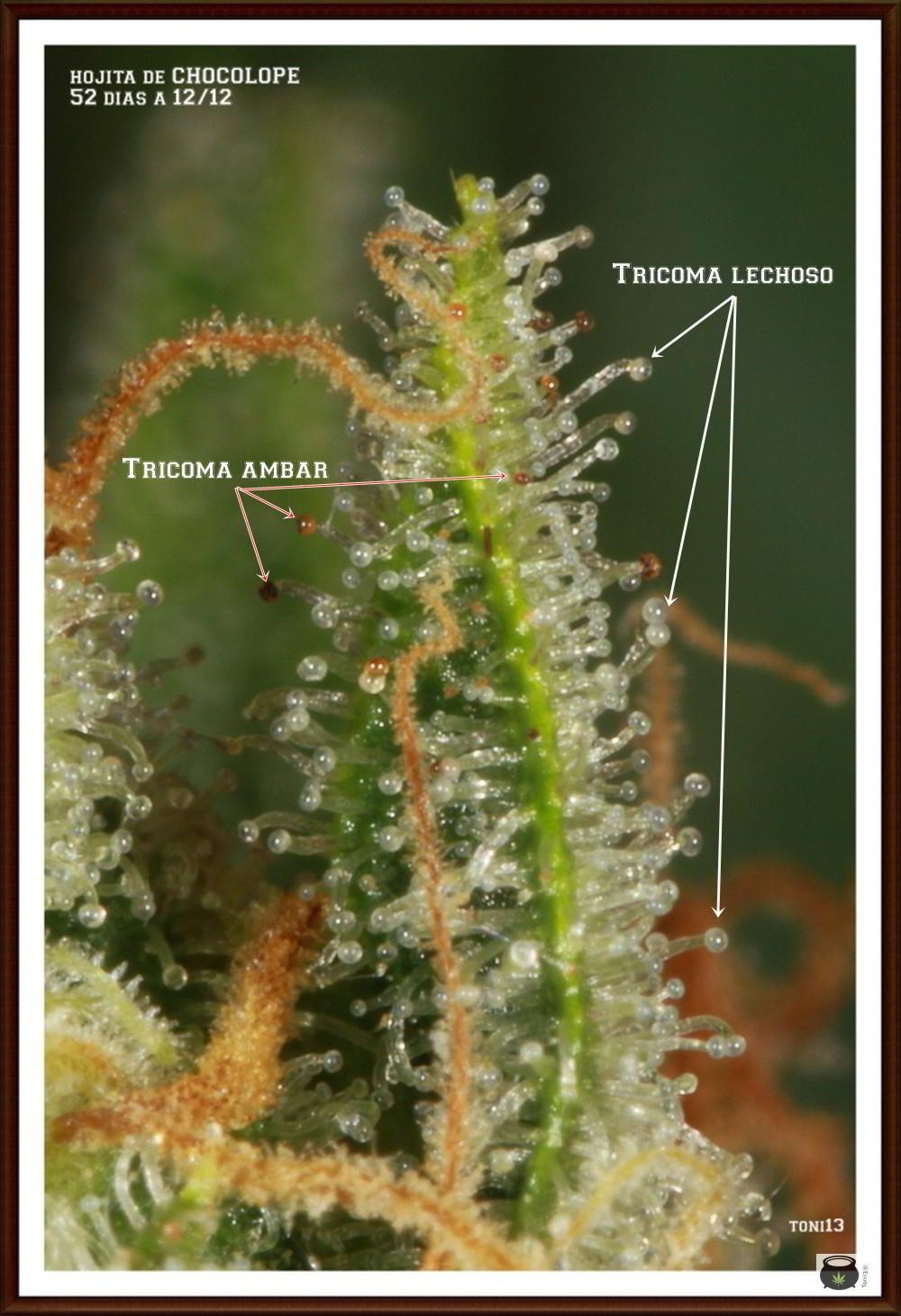 Errores en la observación de los tricomas de la marihuana THC