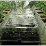 11- 5-9-2013 Buenas noticias, las raíces de las plantas de marihuana ya están aquí