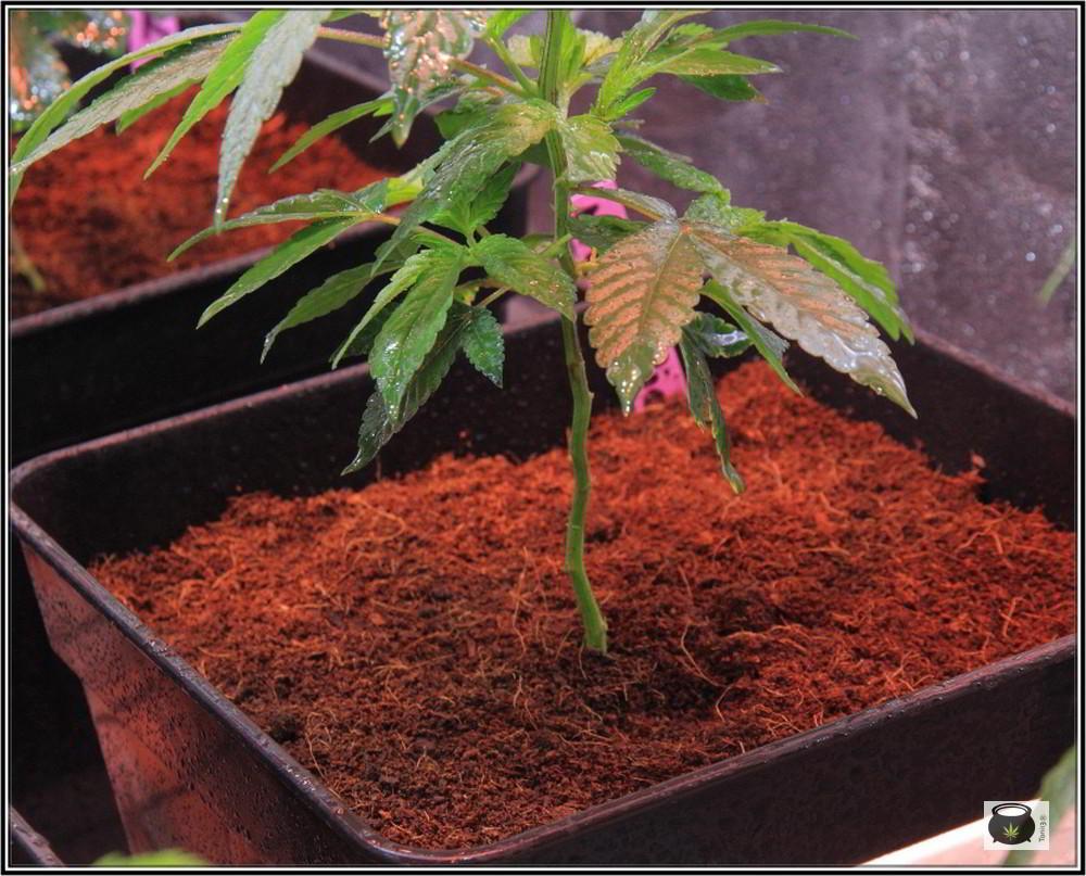 17- 27-9-2013 Tres de tres, Cultivo de marihuana organicoco, allá vamos 5
