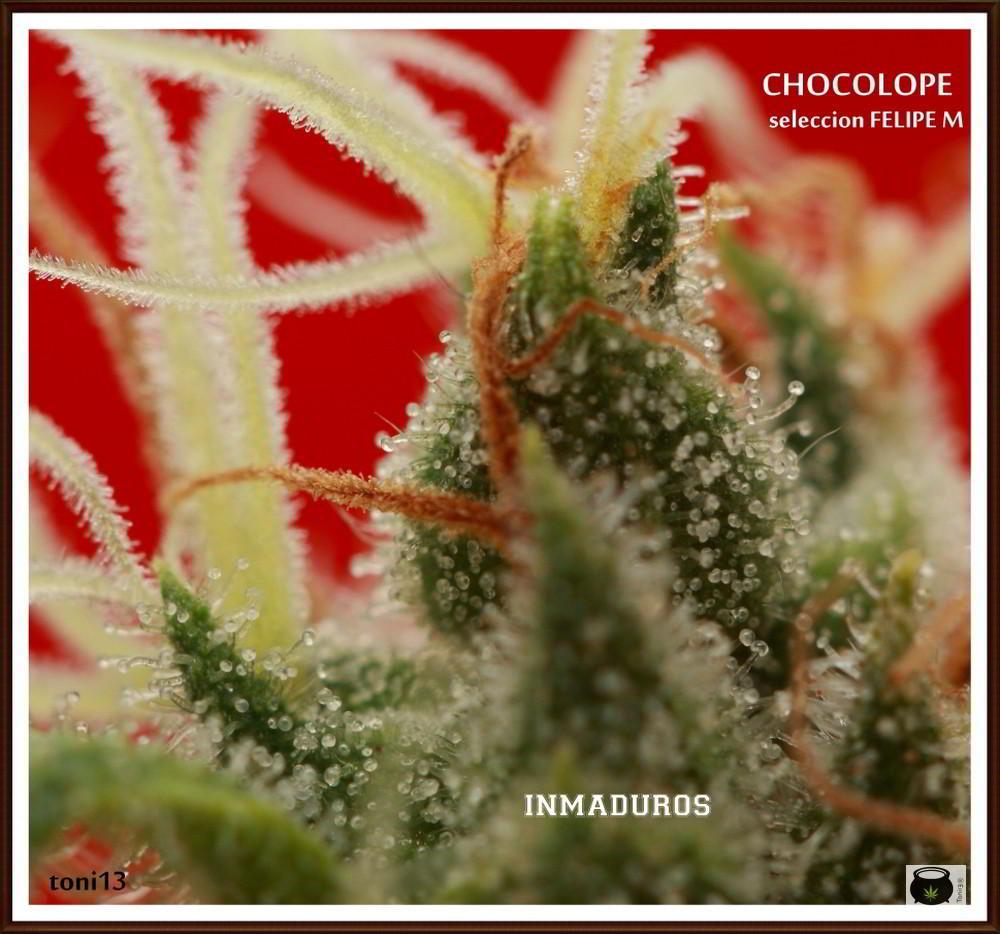 tricomas inmaduros de una planta de marihuana cogollo