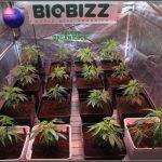 17- 27-9-2013 Tres de tres, Cultivo de marihuana organicoco, allá vamos