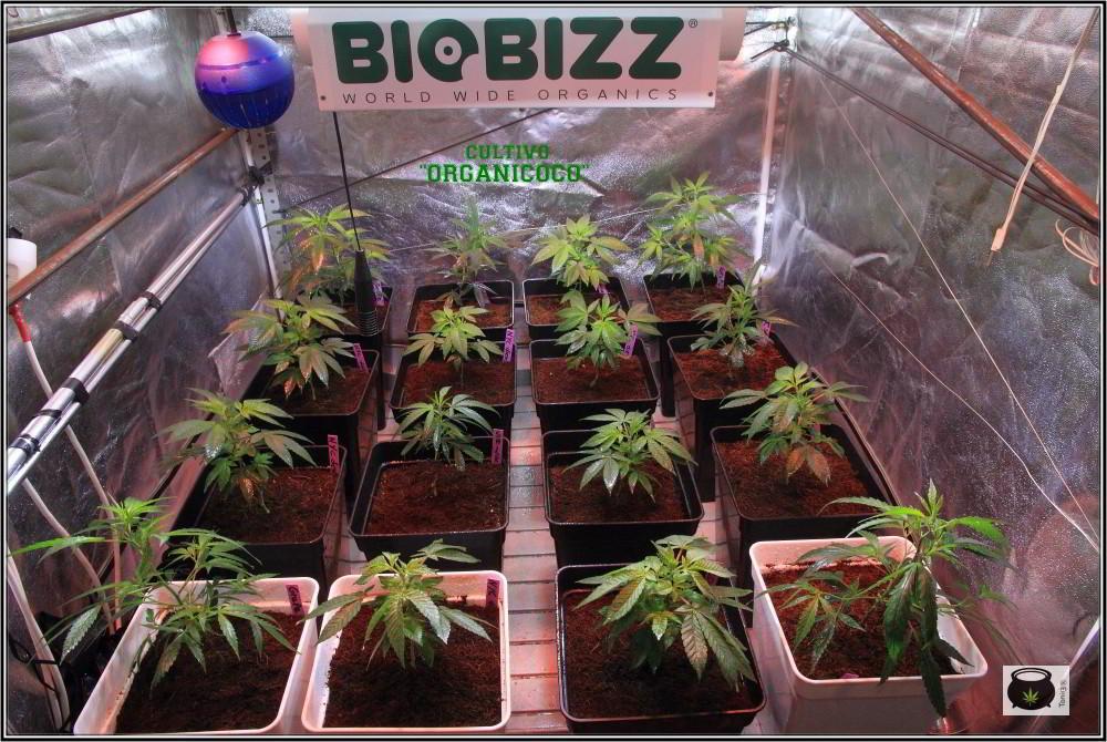 17- 27-9-2013 Tres de tres, Cultivo de marihuana organicoco, allá vamos 1