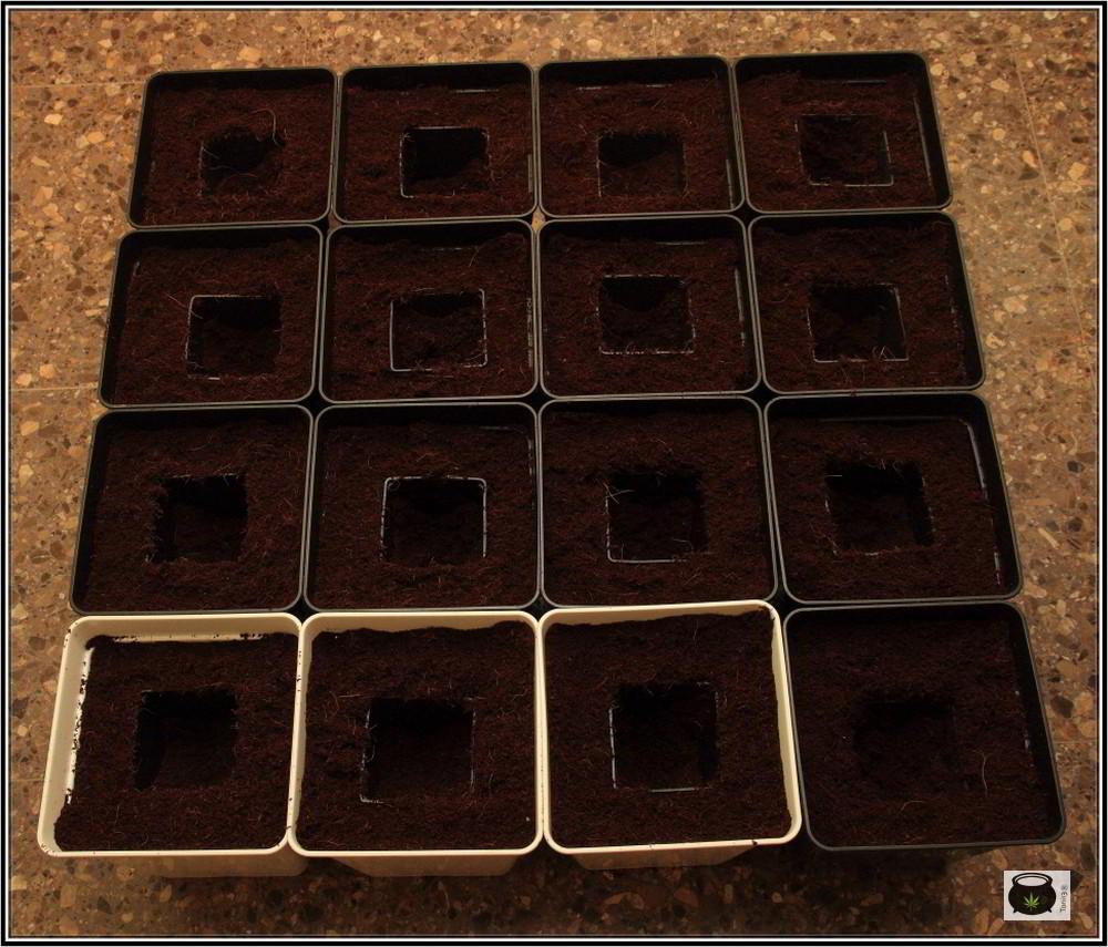 16- 24-9-2013 Trasplante a la maceta definitiva en el cultivo de marihuana 4