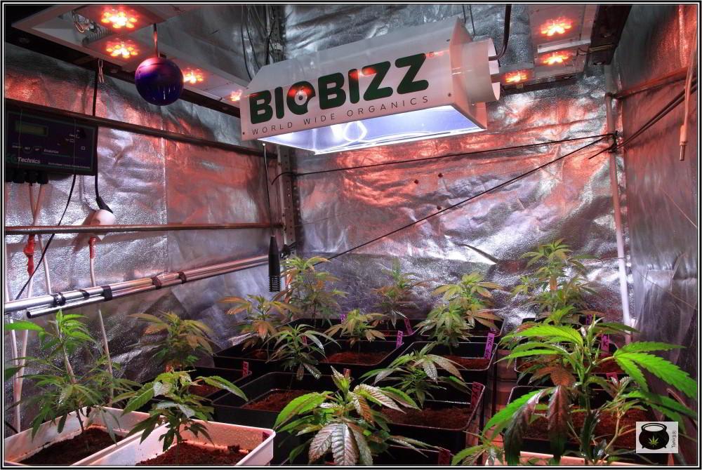 17- 27-9-2013 Tres de tres, Cultivo de marihuana organicoco, allá vamos 2