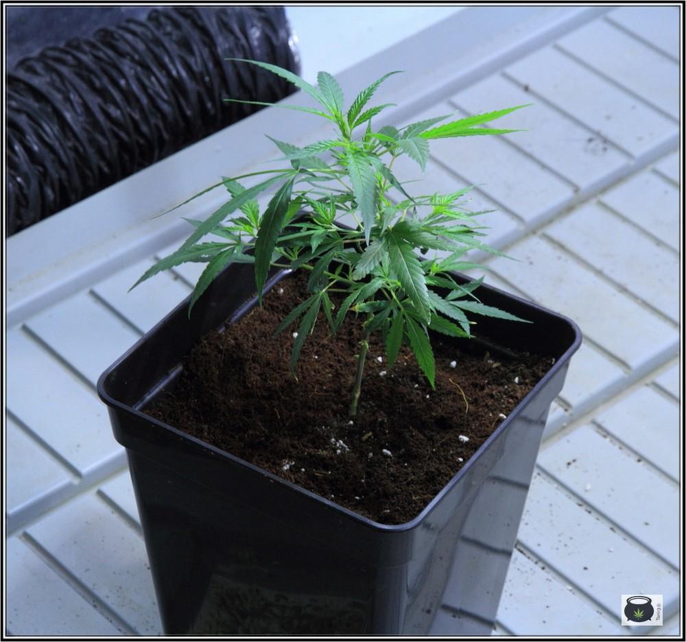 16- 24-9-2013 Trasplante a la maceta definitiva en el cultivo de marihuana 7