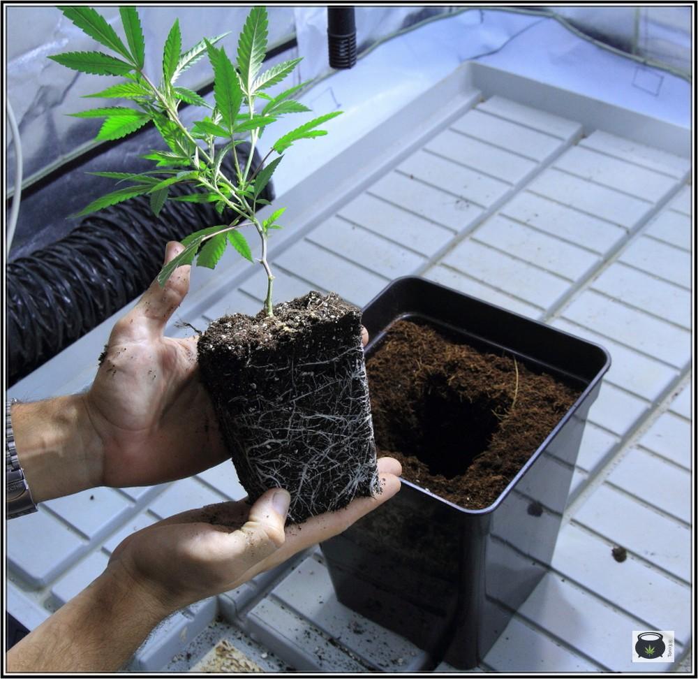 Transplantando una planta de marihuana