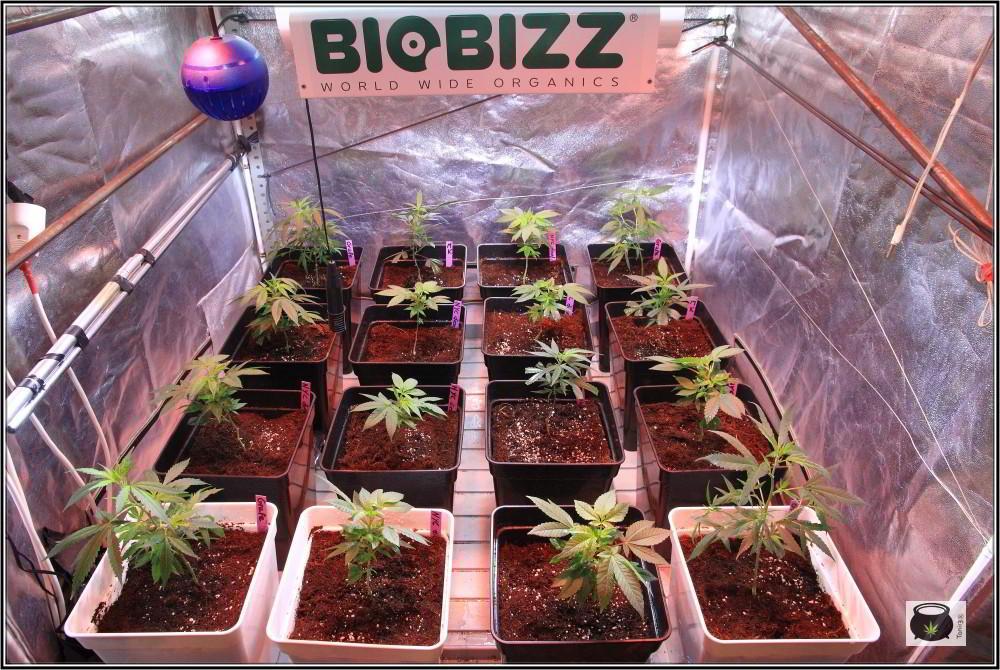 16- 24-9-2013 Trasplante a la maceta definitiva en el cultivo de marihuana 8