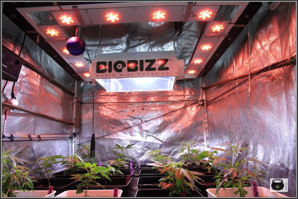 16- 24-9-2013 Trasplante a la maceta definitiva en el cultivo de marihuana 9