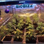 20- 7-10-2013 Cultivo de marihuana ORGANICOCO 5 días a 12/12