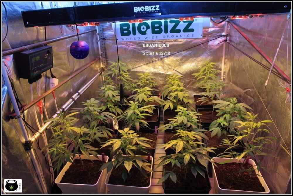 20- 7-10-2013 Cultivo de marihuana ORGANICOCO 5 días a 12/12 1