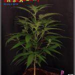 23- 16-10-2013… Ahora sí que se ve el color real de las plantas de marihuana