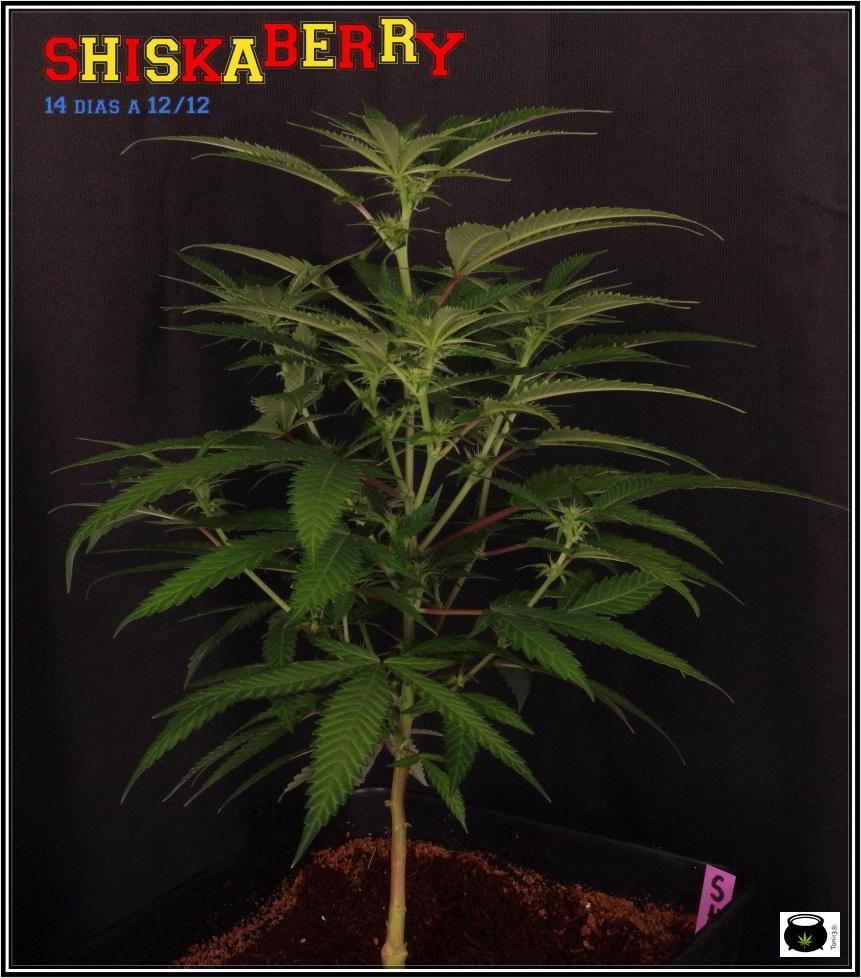 23- 16-10-2013... Ahora sí que se ve el color real de las plantas de marihuana 1