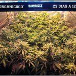 26- El cultivo de marihuana orgánico va cogiendo forma