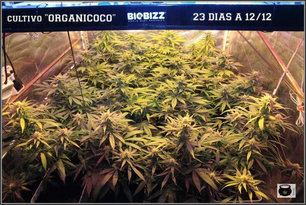 26- El cultivo de marihuana orgánico va cogiendo forma 1