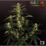 27- Variedad de marihuana MK ultra, 24 días a 12/12
