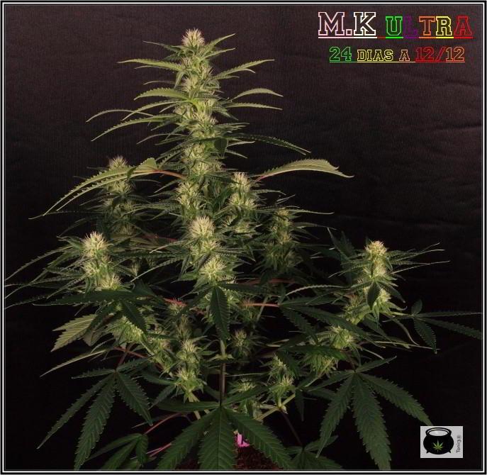 27- Variedad de marihuana MK ultra, 24 días a 12/12 1