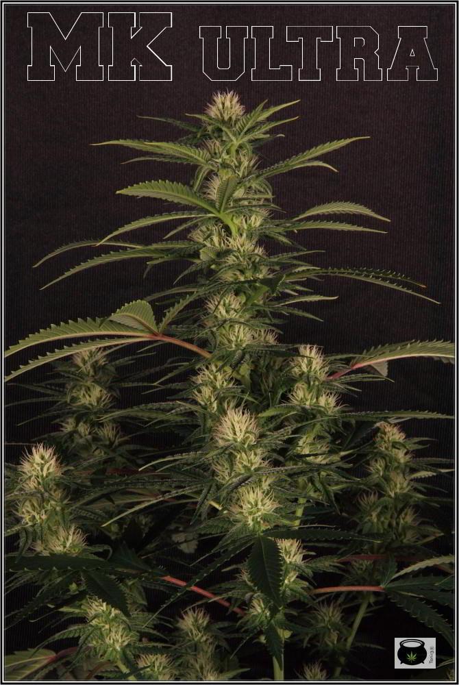 27- Variedad de marihuana MK ultra, 24 días a 12/12 2