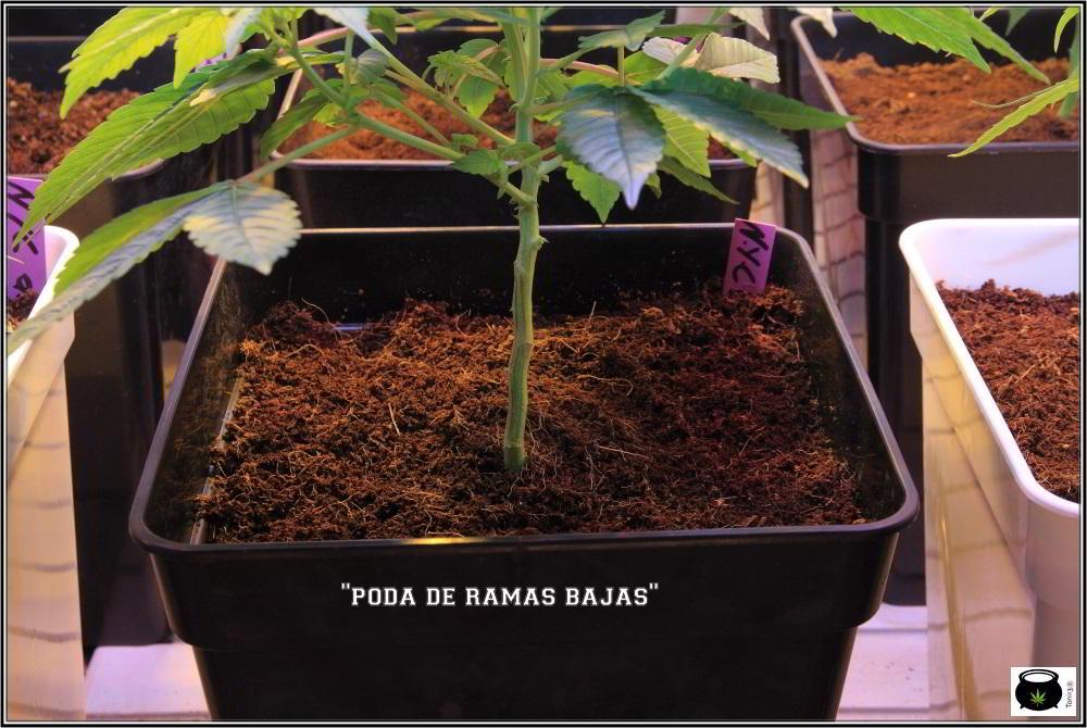 20- 7-10-2013 Cultivo de marihuana ORGANICOCO 5 días a 12/12 3