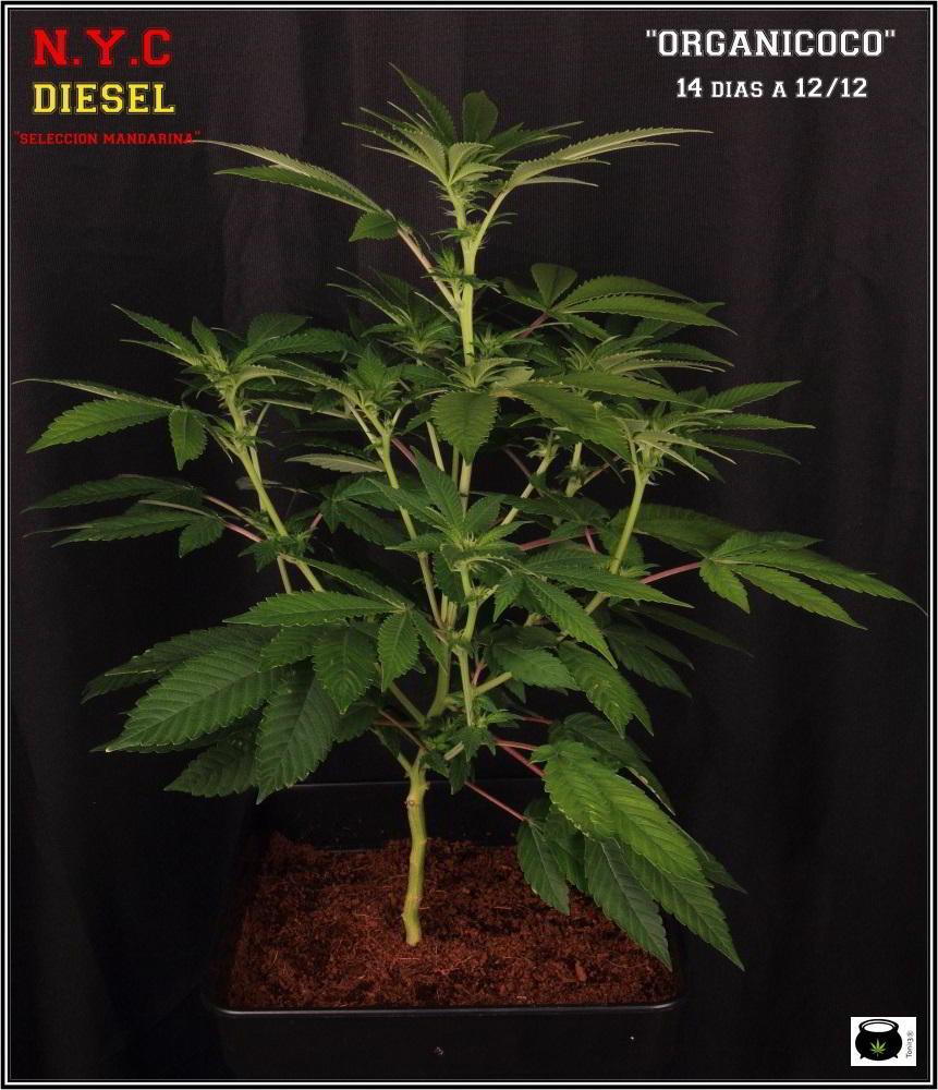 23- 16-10-2013... Ahora sí que se ve el color real de las plantas de marihuana 4
