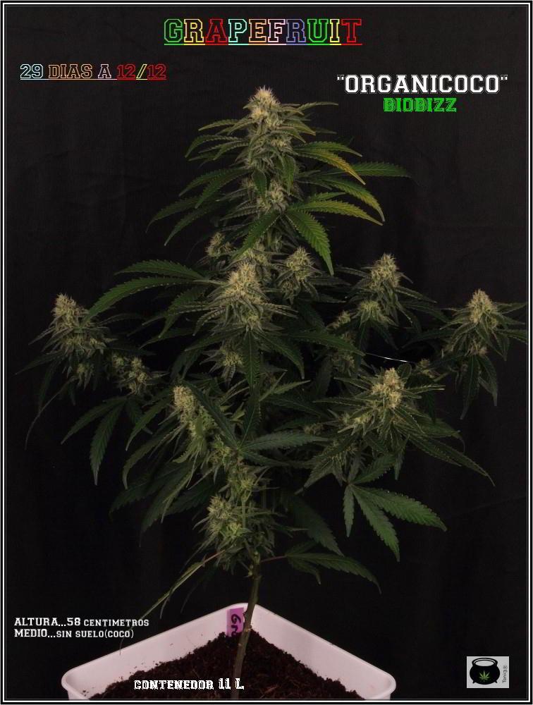 29- Variedad de marihuana Grapefruit, 29 días a 12/12 1