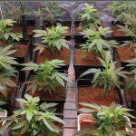 21- 10-10-2013 8 Días a 12/12 Las plantas de marihuana empiezan a crecer