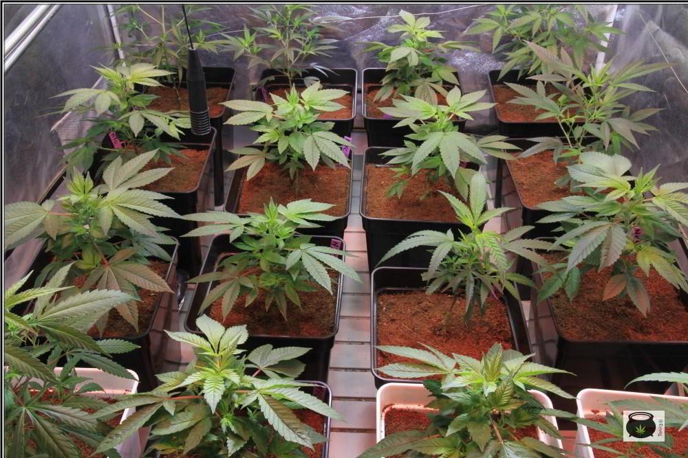 18- 2-10-2013 Dia D. 1º día de floración en el cultivo de marihuana orgánico 1