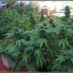19- 3-10-2013  Testando mis madres de marihuana en exterior