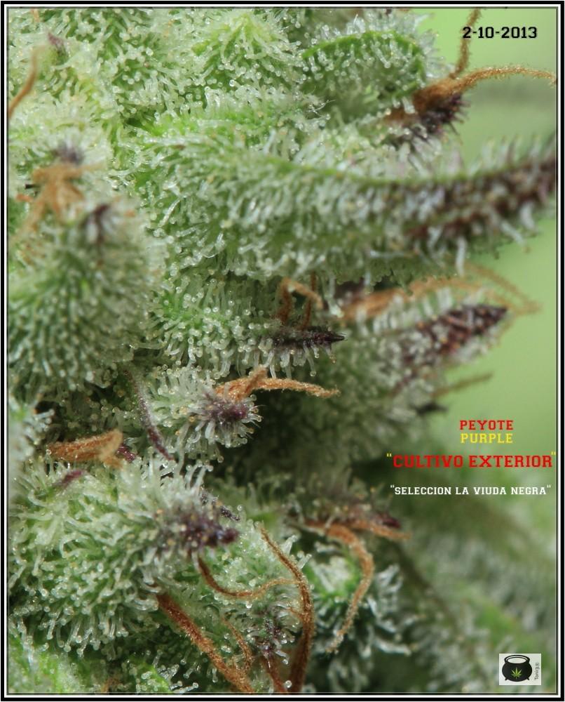 19- 3-10-2013 Testando mis madres de marihuana en exterior 2