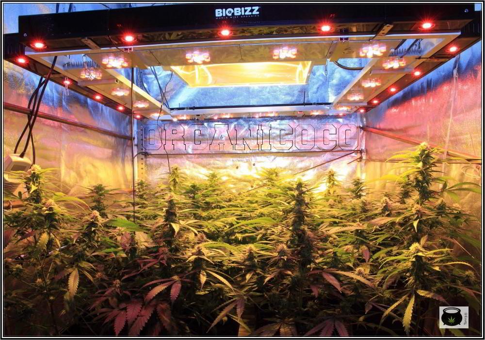 26- El cultivo de marihuana orgánico va cogiendo forma 2