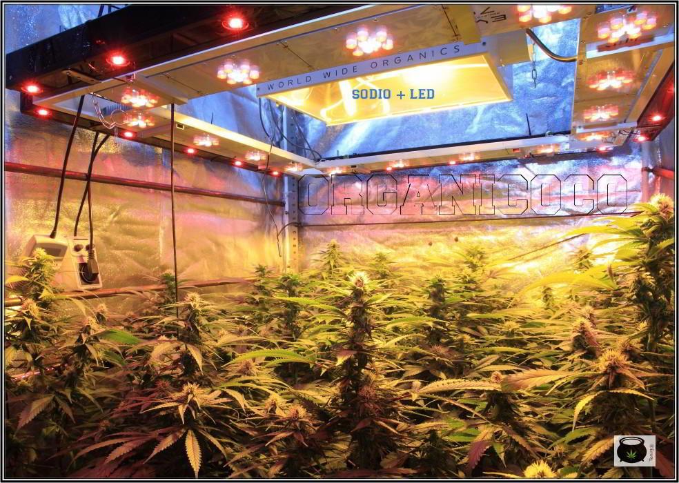 26- El cultivo de marihuana orgánico va cogiendo forma 3
