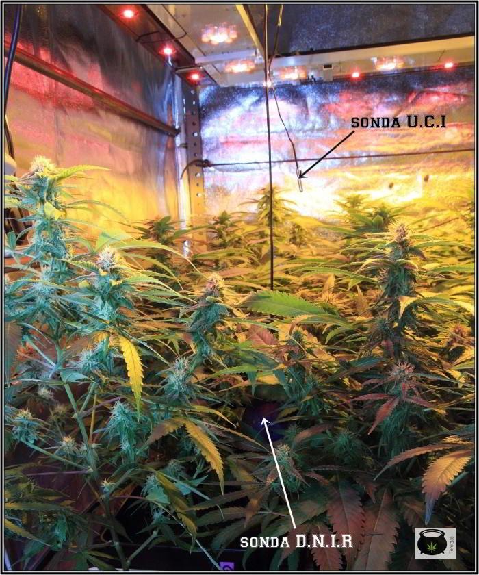 26- El cultivo de marihuana orgánico va cogiendo forma 4