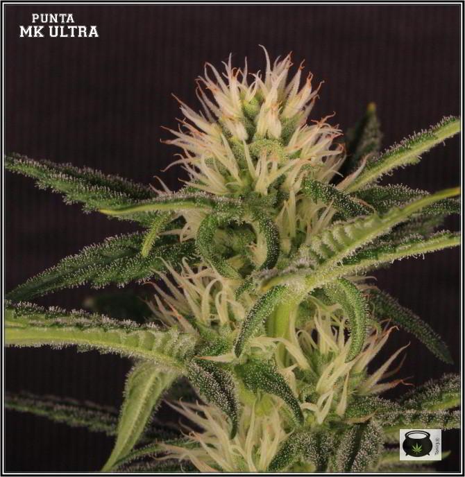 27- Variedad de marihuana MK ultra, 24 días a 12/12 4