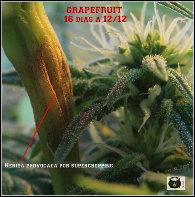 supercropping necrosis planta marihuana
