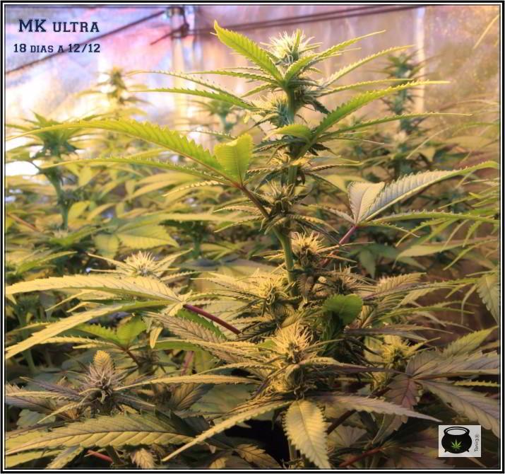 25- 18 días a 12/12, pequeña actualización del cultivo de marihuana 6
