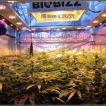 25- 18 días a 12/12, pequeña actualización del cultivo de marihuana