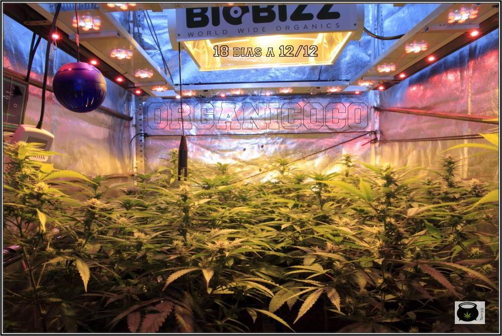 25- 18 días a 12/12, pequeña actualización del cultivo de marihuana 1
