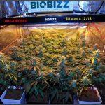 28- Vista general del cultivo de marihuana orgánico, 26 días a 12/12