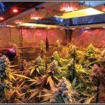 15- 20-7-2013 Ya queda poco para cosechar el cultivo de marihuana