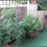 Cómo elegir variedad para nuestro cultivo de marihuana – Diferentes opciones