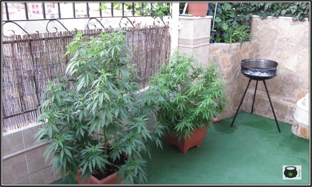 Cómo elegir variedad para nuestro cultivo de marihuana - Diferentes opciones 1