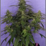30- Variedad de marihuana Shiskaberry selección Fresita 31 días a 12/12