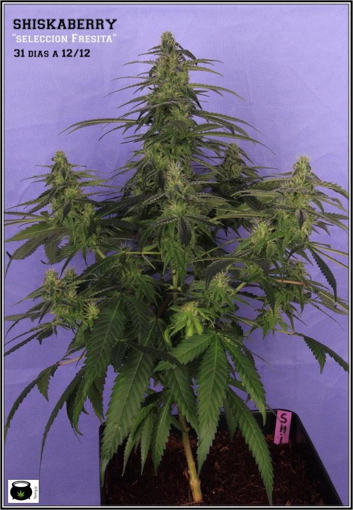 30- Variedad de marihuana Shiskaberry selección Fresita 31 días a 12/12 1