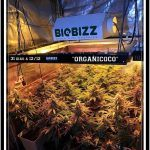 31- Vista general cultivo de marihuana orgánico, 31 días a 12/12