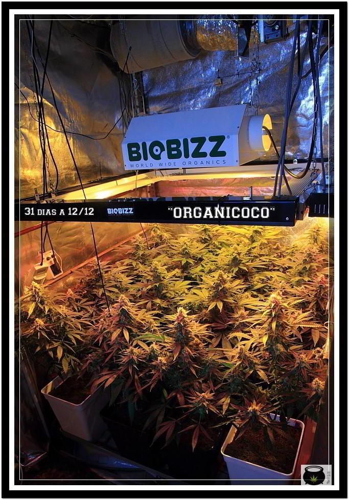 31- Vista general cultivo de marihuana orgánico, 31 días a 12/12 1