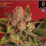 46- Especial variedad de marihuana MK ultra, cortada con 57 días a 12/12