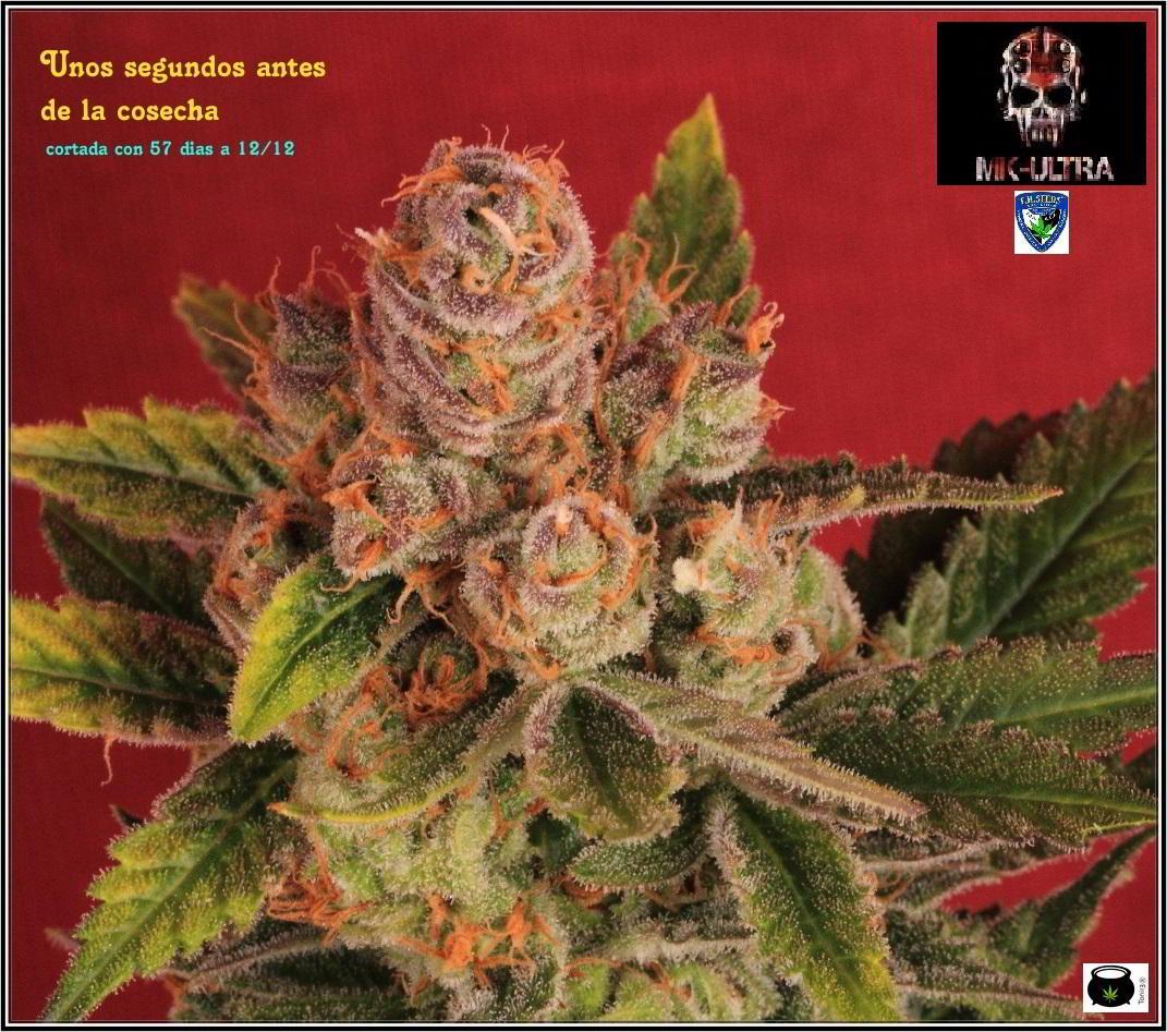 46- Especial variedad de marihuana MK ultra, cortada con 57 días a 12/12 1