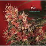 43- Variedad de marihuana PCK, Un mundo rojo entre las plantas