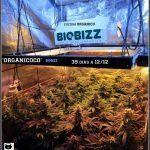 34- 39 días a 12/12, vista general del cultivo de marihuana organicoco