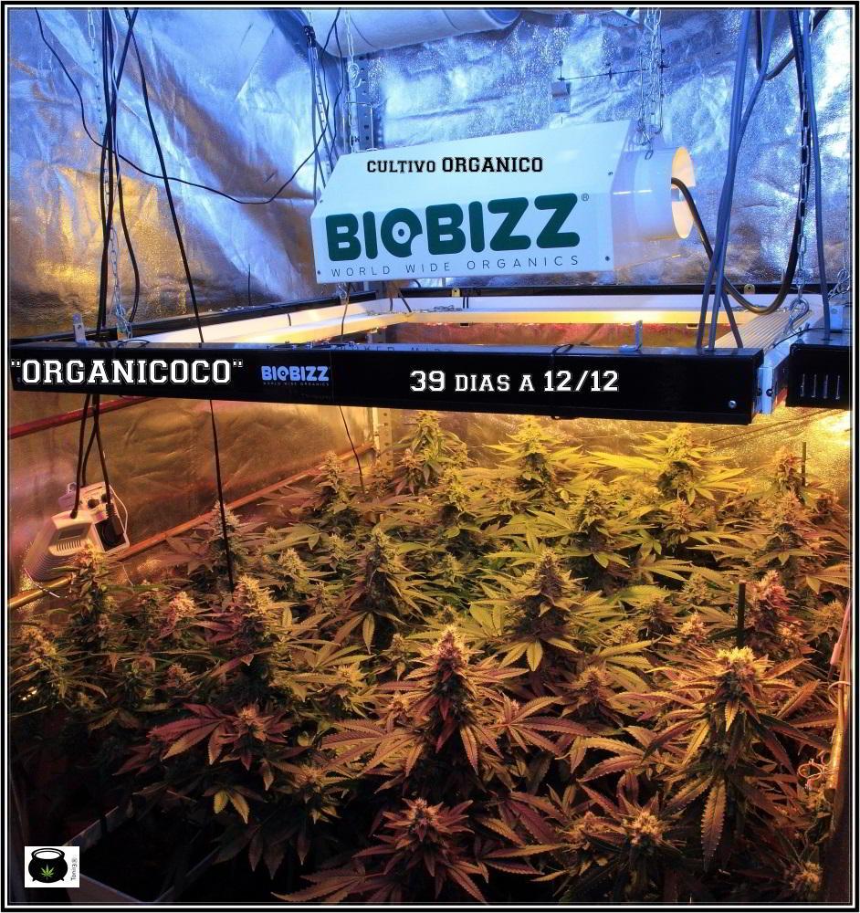 34- 39 días a 12/12, vista general del cultivo de marihuana organicoco 1